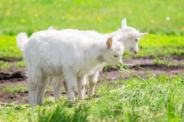 white baby goat on green grass in sunny day 640x480 1 - Ama Vitae